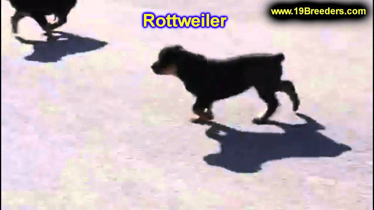 Rottweiler Puppies For Sale In Springfield Missouri Mo St