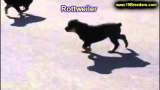 Rottweiler, Puppies, For, Sale, In, Springfield, Missouri, Mo, St  Charles, St  Joseph, O'fallon, Le