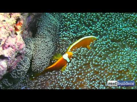 White Cap Clownfish