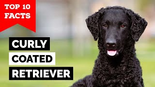 Curly Coated Retriever  Top 10 Facts