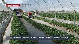 В Крыму собирают первый урожай клубники