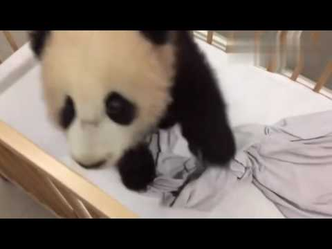 Bébé Panda Trop Mignon Cute Baby Panda