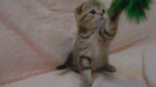 Кошечка мраморная ПРОДАЖА