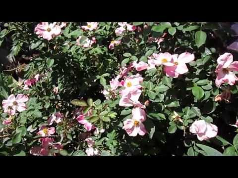 """Nearly Wild Rose, Lisa's Landscape & Design """"Plant Pick Of The Day"""""""