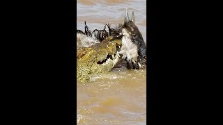 Hungry Crocs Kill EIGHT Wildebeest (Vertical Video)