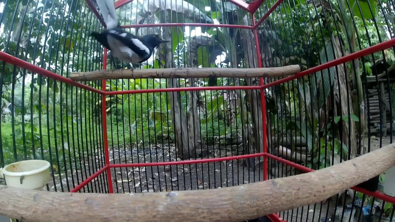 Mencari Setingan Kacer Muda Bahan Hutan Giras Langsung Buka Ekor Dan Bongkar Full Isian Youtube