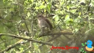 kicau burung sikatan londo asli hutan liar
