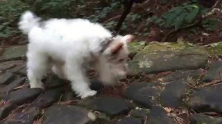 伊勢の熊野古道を走るワイヤーフォックステリアのハリー♪ Wire Fox Terr...
