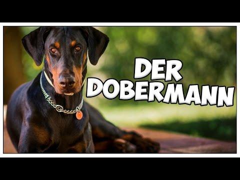 Der DOBERMANN im Rasseportrait #7 JulisTierwelt / doberman