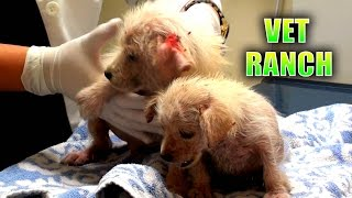 Emergency Rescue for Neglected Puppies