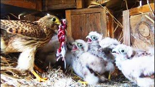 Обыкновенная пустельга - неутомимый борец с грызунами - Птицы России - Фильм 31
