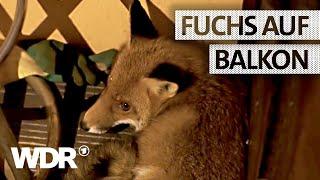 Feuer & Flamme | Fuchs auf einem Balkon | WDR