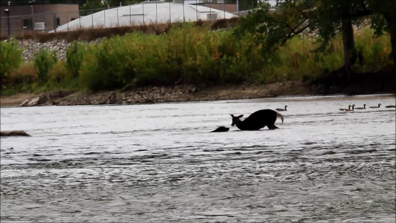 Dog and deer in River, Cedar Falls