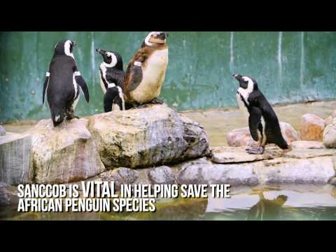Saving African Penguins with SANCCOB in South Africa