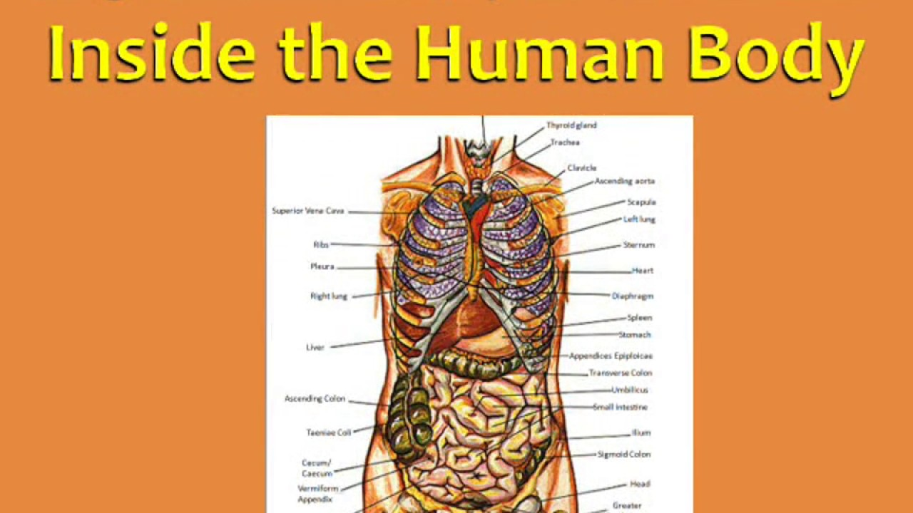 14 English Vocabulary With Pictures Inside The Human Body Youtube