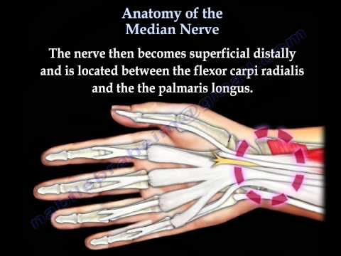 Anatomy Of The Median Nerve - Everything You Need To Know - Dr. Nabil Ebraheim