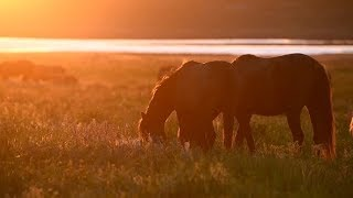 Wild Mustangs Graze at Sunset | Stock Footage - Videohive