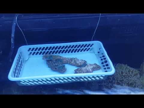 Frags in fragging box (Ricordea florida blue)