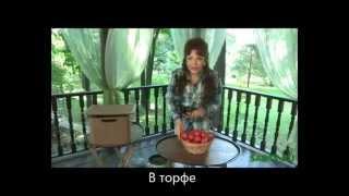 видео Как хранить помидоры