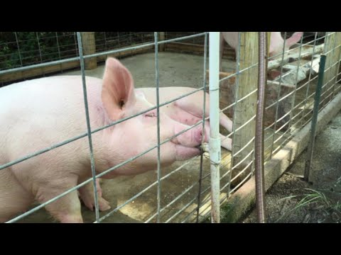 Automatic Pig Waterer - Maintenance Free Pig Watering System