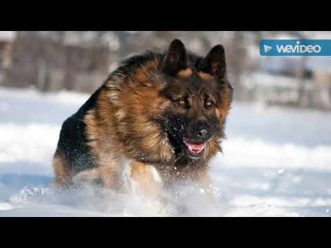 top-10-most-dangerous-dogs