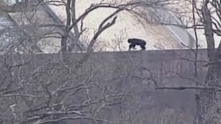 Chimps on the run: Chimpanzees escape Kansas City Zoo