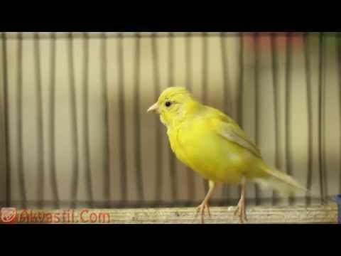 Кенар. Певчие Птицы.