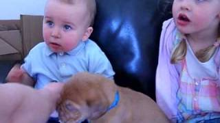 Lewis Kc Moon Dance, With Lewis!! Dogue De Bordeaux Puppy