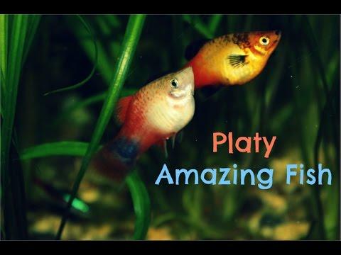 Platy: Amazing Fish