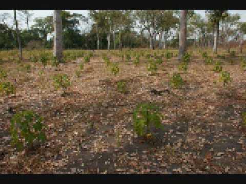 Smart Oil Jatropha plantation in Ghana
