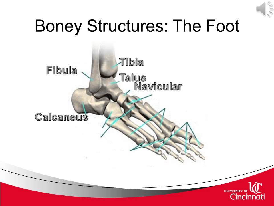 Clinical Anatomy foot and ankle part 1 - YouTube