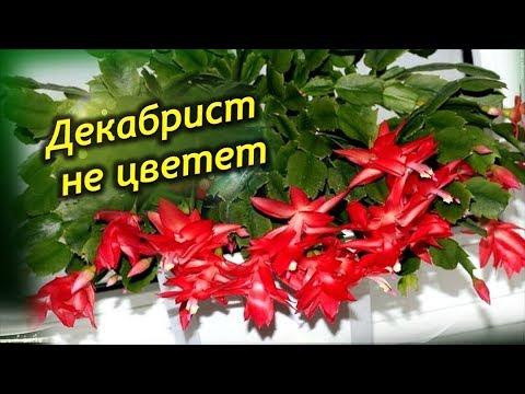Декабрист (Шлюмбергера) секреты пышного цветения. Почему декабрист не цветет.