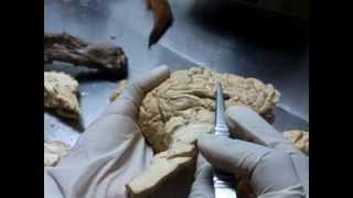 Anatomía Veterinaria: ENCÉFALO Y MÉDULA ESPINAL [Parte 1/3] HD