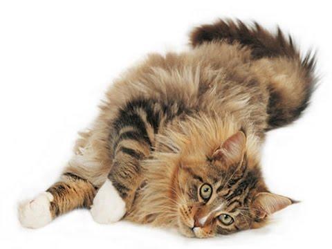 American Longhair Cat Breed | American Longhair Car Profile and Characters