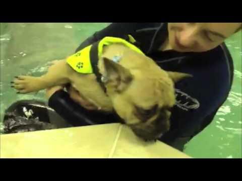 Yoda the French Bulldog - Swimming Session!