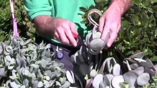 Tender Succulents: Part 4 - Crassula Plants
