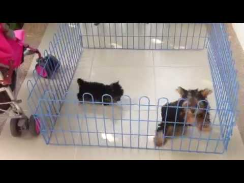 Teacup Vs Normal Size Doozie Deeva Yorkshire Terrier Youtube