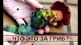 Что это за гриб? Съедобный дубовик или ядовитый сатанинский гриб?