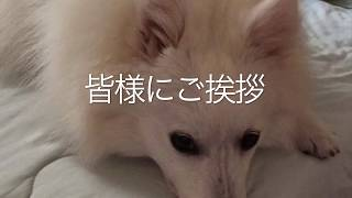 Japanesespitz Lemon  <皆様にご挨拶> わたちレモン  白もふ 白もふ犬...