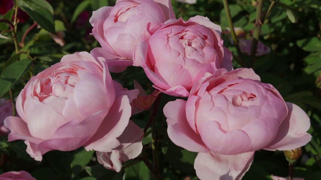 10 Most Beautiful Morsdag Polyantha Roses Beautiful Roses Rose Flowers