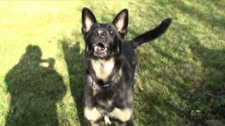 German Shepherd Teeth (super Slow Mo)