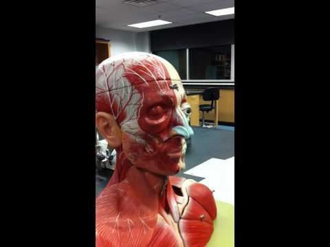 Cranial & Facial muscles, part 1