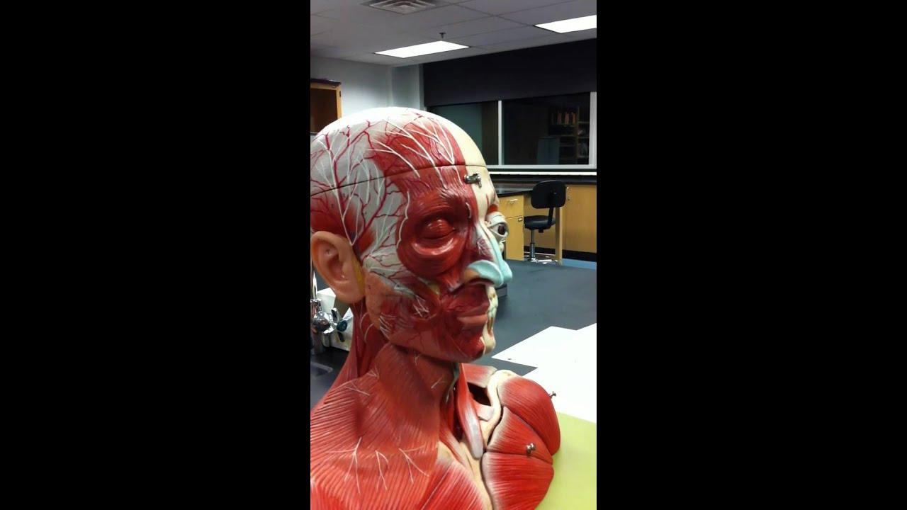 Cranial Facial Muscles Part 1 Youtube