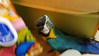 Попугай ара ищет пачку салфеток