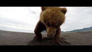 Версус. Битвы медведя! Медведь против Тигра, Пумы, Бизона...