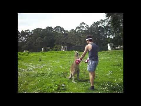 Martial Arts Lessons From Kangaroo Fights