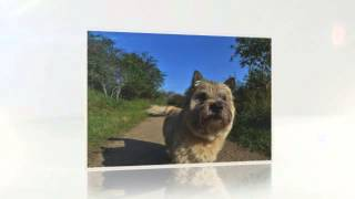 Cairn Terrier Behavior