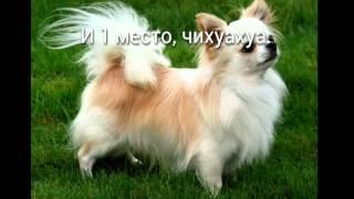 Топ 5 самых маленьких собак мира.