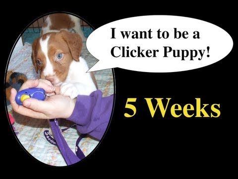 Clicker Training 5 week old Brittany pups to sit and come (recall)