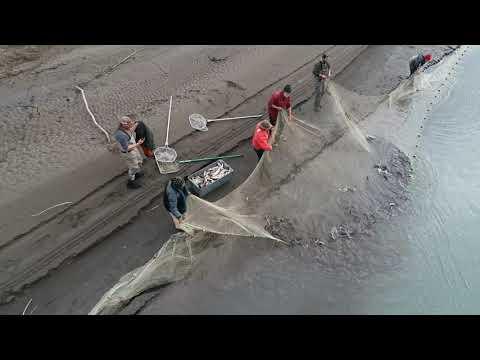 Chisana River Alaska Sampling Humpback Whitefish Spawning  Population